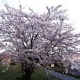 027  桜